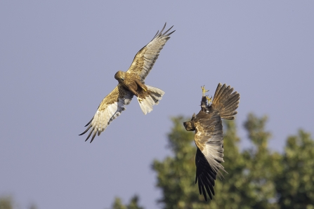 Marsh harriers © Barry Wardley
