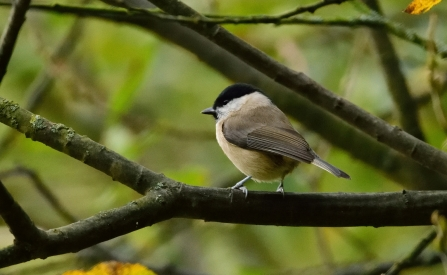 Marsh tit © Amy Thompson