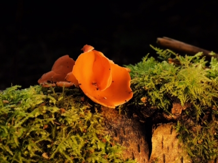 Orange peel fungus © Debbie Ross