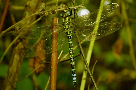 male Southern hawker © Matthew Christou