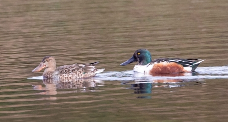 pair of Shoveler © Vernon Barker