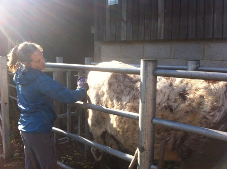 Lorna calming the cows for haltering