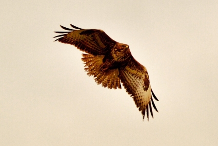 Buzzard © Matthew Christou