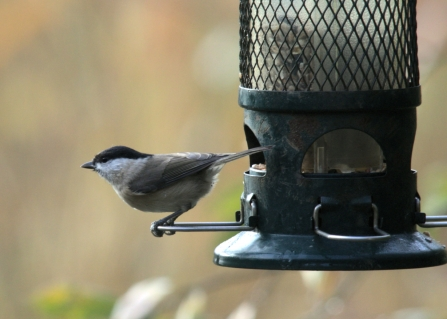 Marsh tit © Rob Burns