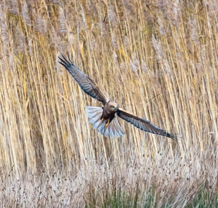 male Marsh harrier © Vernon Barker