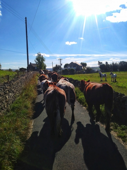 Cattle moving to Cemetery Block