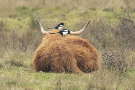 Magpies on Highland Cattle © Keith Horton 2019