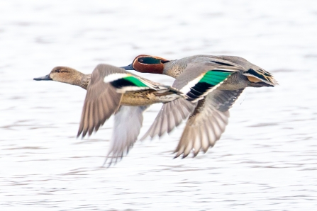 male and female Teal © Vernon Barker 2019