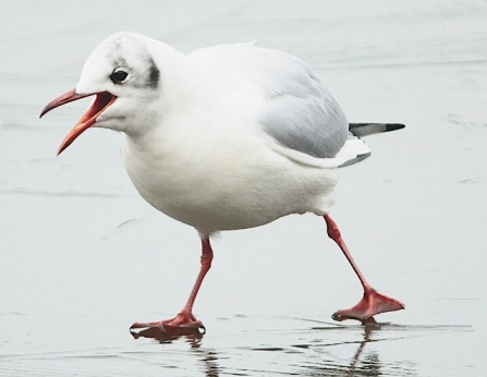 Black-headed gull - Adel Dam