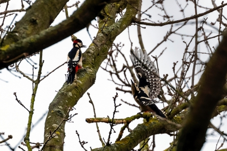 Great Spotted Woodpeckers © Paul Paddock 2019