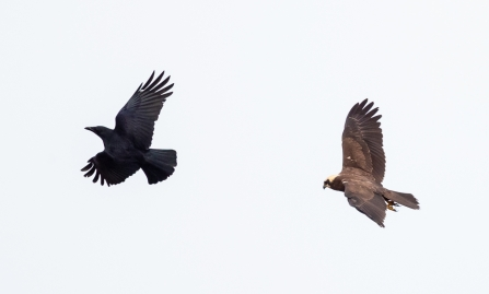 Crow and Marsh Harrier © Vernon Barker 2019