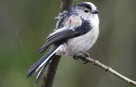 Long-tailed tit - AdelDam