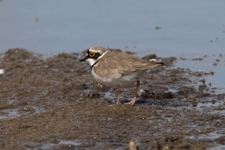 Little Ringed Plover © Adrian Andruchiw 2019