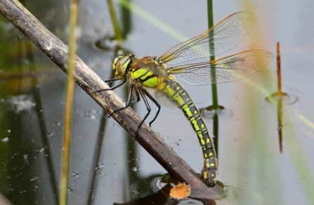 Hairy Dragonfly © Allen Holmes 2019