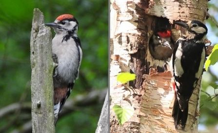 Great spotted woodpecker - Adel Dam