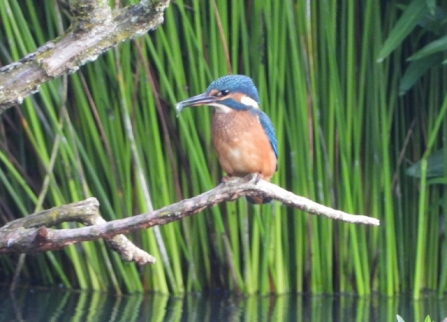 Kingfisher - Adel Dam