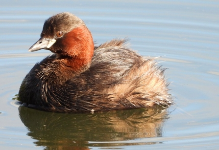 Little_grebe AdelDam