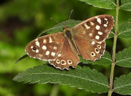 Speckled Wood - Adel Dam