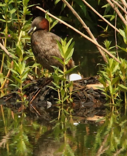 LittleGrebe - AdelDam