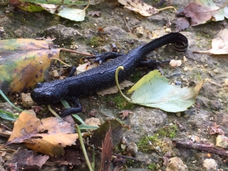 Great Crested Newt © Lynda Christou