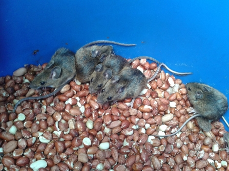 family of Wood Mice in a peanut drum © Roger Bird 2019
