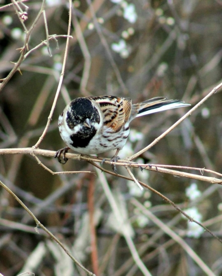 Reed Bunting © Pam Grimstone 2020