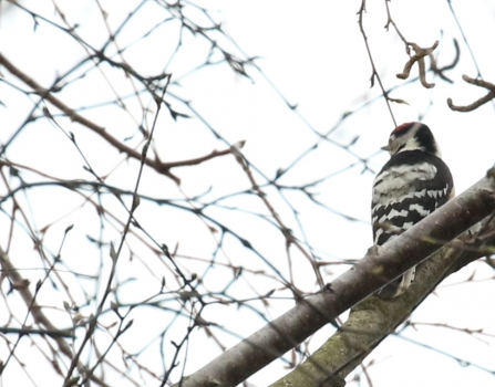 male Lesser Spotted Woodpecker (taken on 19th March) © Rob Mellor 2020