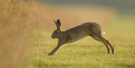 Common hare © Russell  Savory