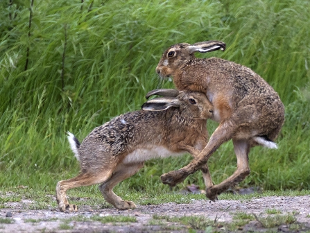 Mad March hares © Russell Savory