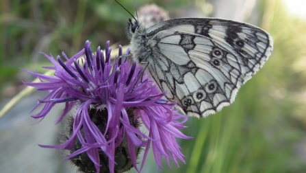 Marbled white on black knapweed © Jon Traill