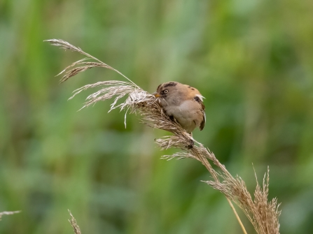 variant female Bearded Tit 8th July © Paul Paddock 2020