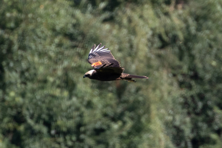 wing-tagged Marsh Harrier © Adrian Andruchiw 2020