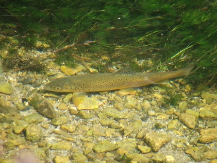Brown trout in a chalk stream © Jon Traill