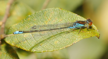 Small Red-eyed Damselfly © Allen Holmes 2020