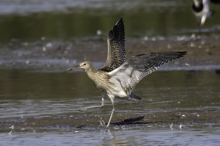 Curlew (from Tuesday) © Barry Wardley 2020