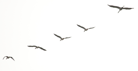 record shot of Crane following Greylags © Allen Holmes 2020