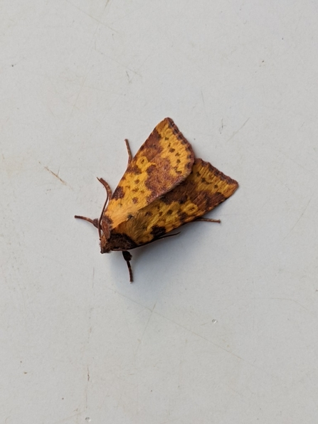 Pink-barred Sallow © Janet Heppenstall 2020