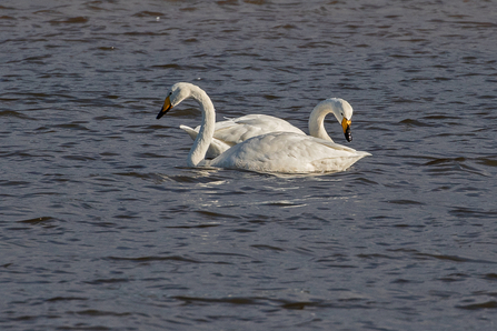 Whooper Swans © Adrian Andruchiw 2020