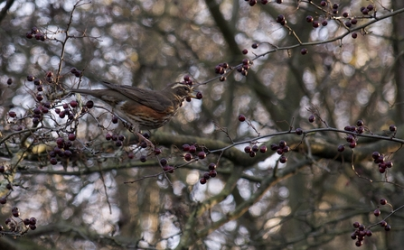 Redwing © Lesley Wilson 2020
