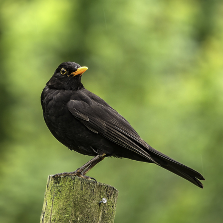 Blackbird with small orange beak looking to the right of the screen standing atop an old log (Bob Coyle)
