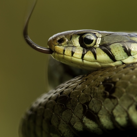 Yellow-green snake coiled with tongue out looking to the left of the screen (Danny Green/2020VISION)
