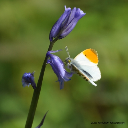 White butterfly with orange tipped wings on a purple bluebell flower