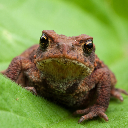 Reddy-brown bumpy toad sitting on a leaf looking directly at the camera