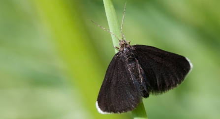 Chimney sweep moth