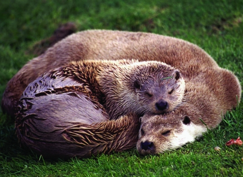 Sleeping Otters