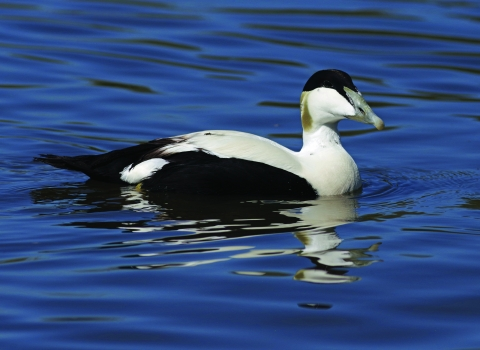 Eider duck (c) Gillian Day