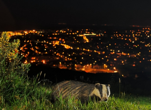 European Badger (Meles meles), Kent, UK