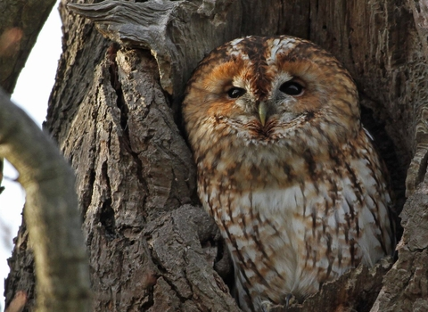 Tawny owl (c) Margaret Holland